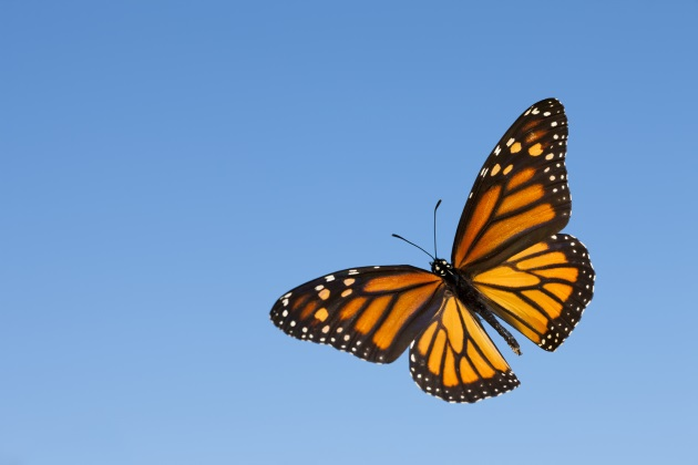 Why the drop in the monarch butterfly population is important for humans