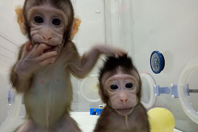 After cloning monkeys, are humans next?