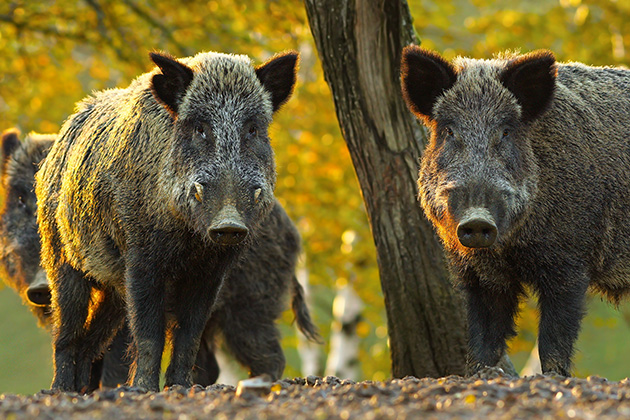 Has Texas gone hog-wild in its plan to use poison?