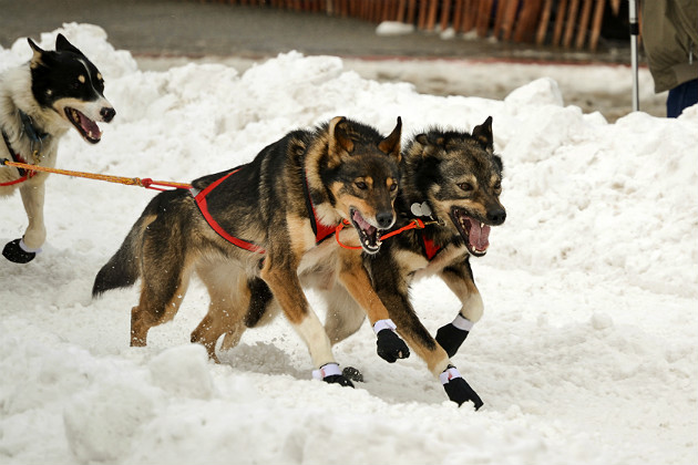 How veterinarians ensure the health of Iditarod dogs