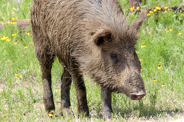 Opponents of feral hog poison moving rapidly