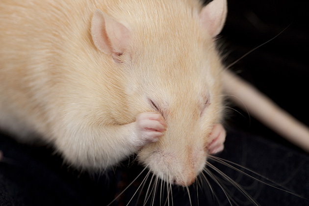 I scratch, you scratch: A study of contagious itching in mice