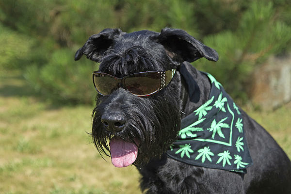 How legalization of marijuana impacts the veterinary world