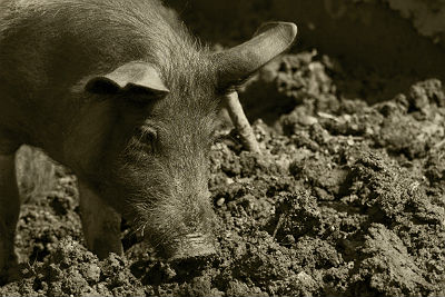 Stalking feral hogs: Lessons learned