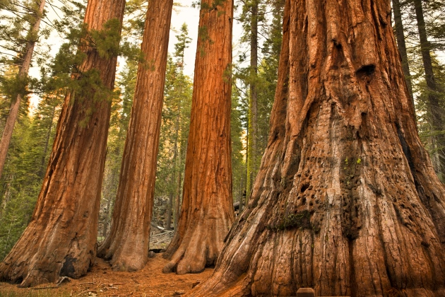 Yosemite's Mariposa Grove of Giant Sequoias reopens after massive restoration