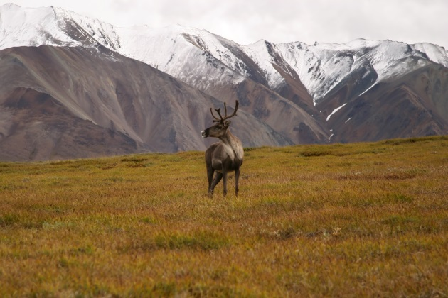ANWR drilling threatens Porcupine caribou — and vice-versa?