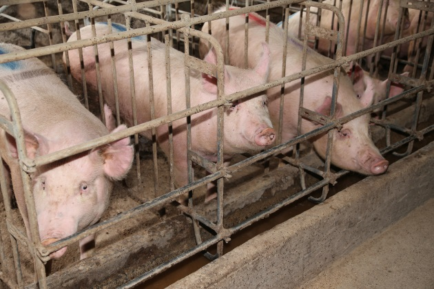 Some communities are putting the brakes on factory farming
