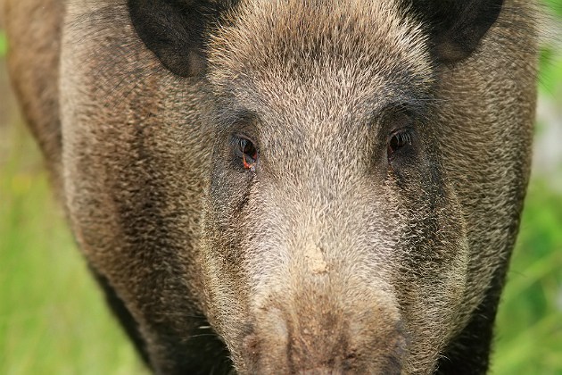 Is Texas hog poison drama finally kaput?