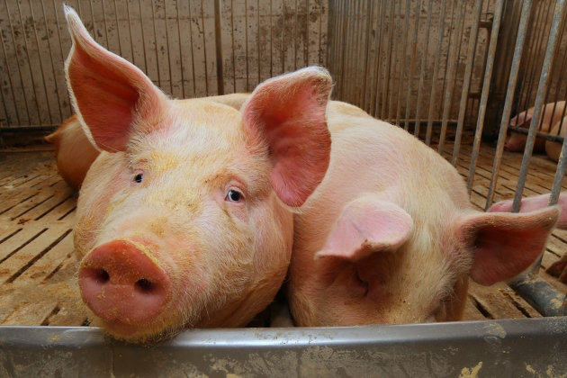 Death rates rise, environmental challenges grow at large US pig farms