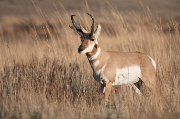 Lessons learned from pronghorn hunting