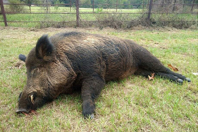 Guadalupe County, Texas, institutes bounty to address feral hog problem