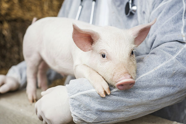 Powerful gene editing could make pigs perfect organ donors