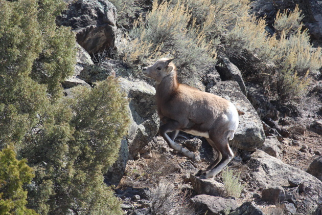 New life for New Mexico's bighorns