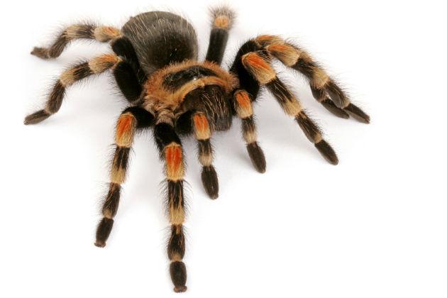 Large dark brown hairy spider